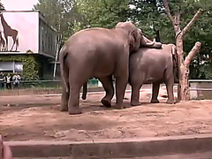 Elephants have sex at the zoo