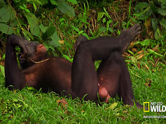 Chimpanzees hang out and have sex in nature video