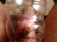 Kinky guy traps yellowjacket bees around his cock